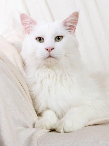 Minskin Kitten: Minskin Seite Katzenzucht M Breed
