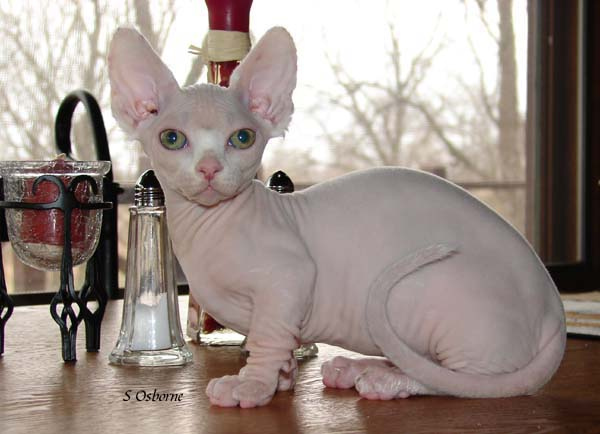 Minskin Kitten: Minskin Uk Minskin Breeders Grooming Cat Kittens Reviews Articles