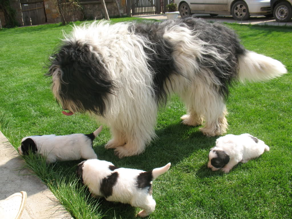 Mioritic Dog: Mioritic Mioritic Dog With Her Babies Breed