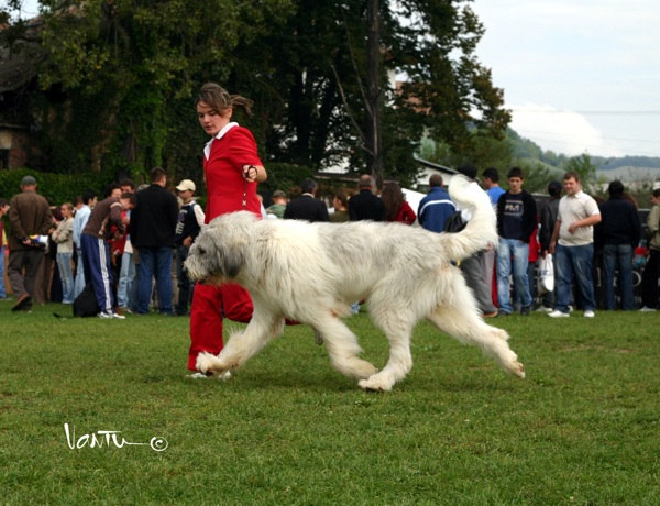 Mioritic Dog: Mioritic Mioritic Sheepdog Breed