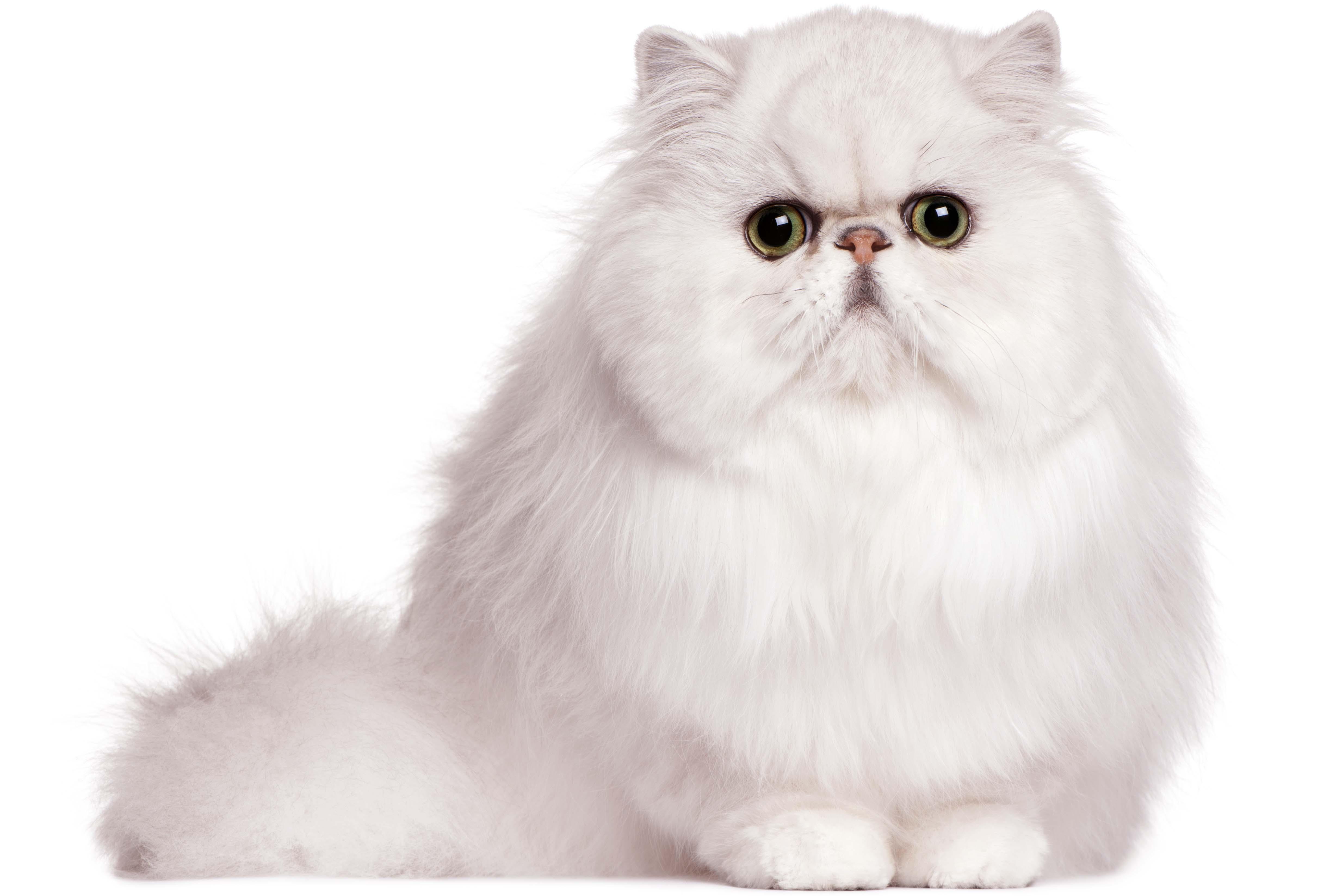 Modern Persian Cat: Modern Friendly Persian Cats S Breed