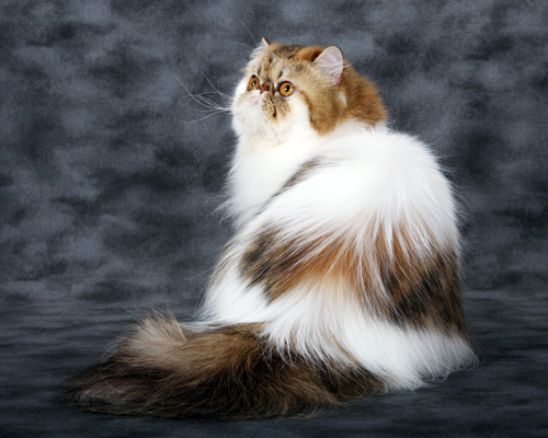 Modern Persian Cat: Modern How To Care For Persian Cat Breed