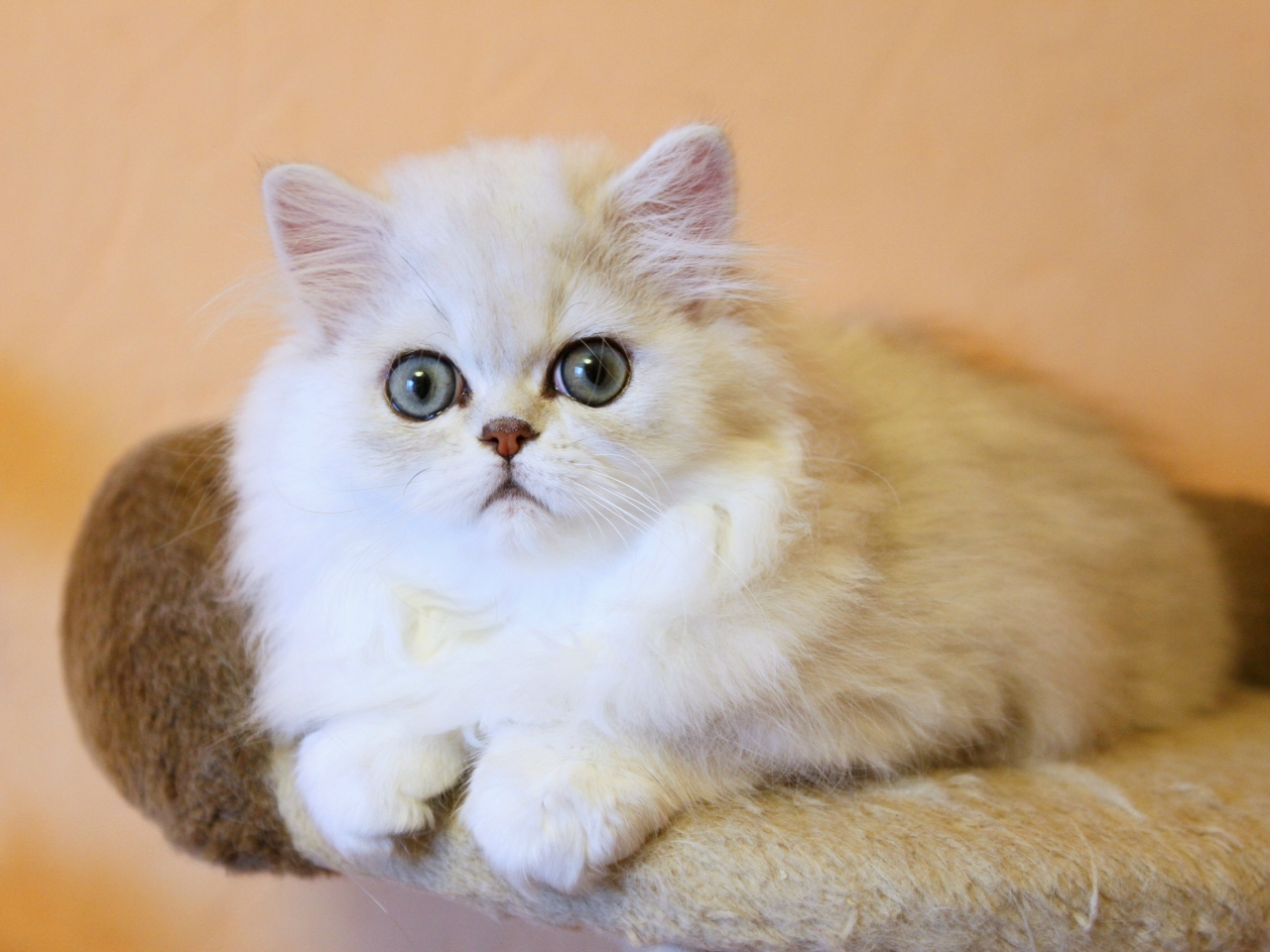 Modern Persian Cat: Modern Persian Cat Breed