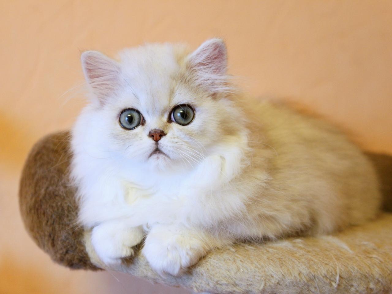 Modern Persian Cat: Modern Persian Cat Breed