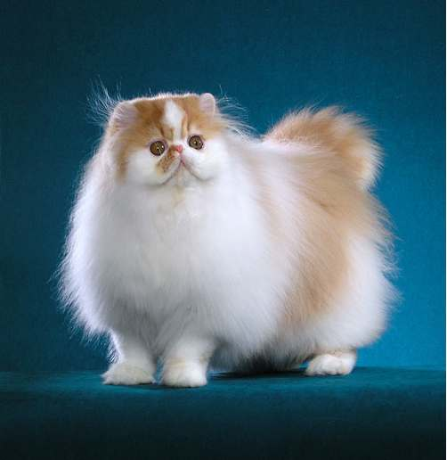 Modern Persian Cat: Modern Persian Cat Discussion Breed