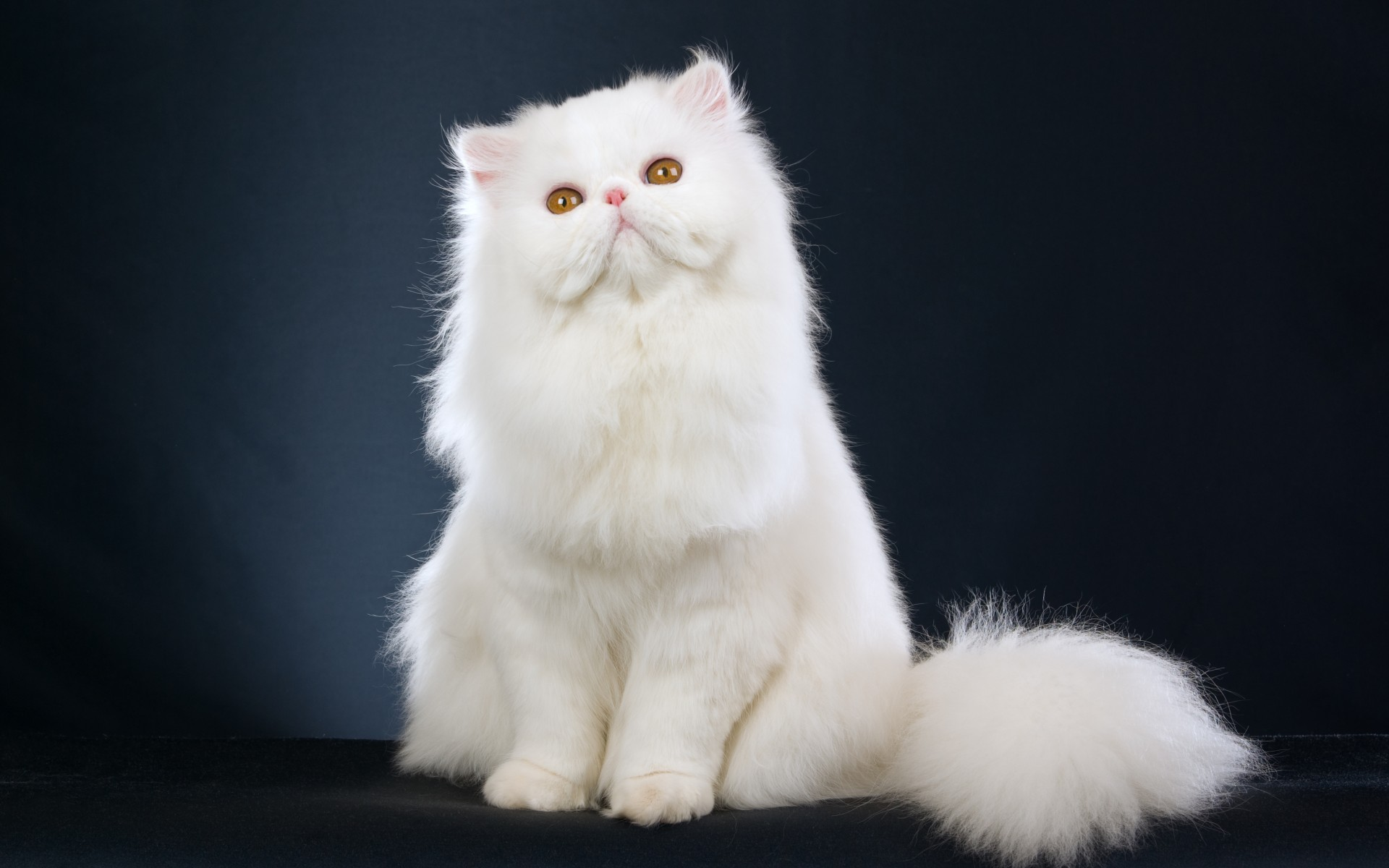 Modern Persian Cat: Modern The Persian Personality And Care Breed