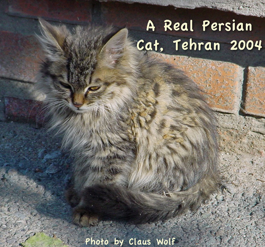 Modern Persian Cat: Modern The Real Persian Cat Breed