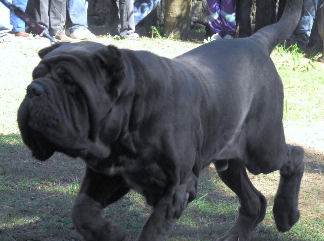 Molossus Dog: Molossus Ancient Roman Dogs Of War Breed