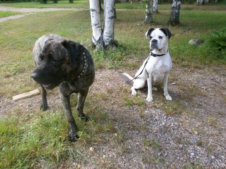 Molossus of Epirus Dog: Molossus Breed