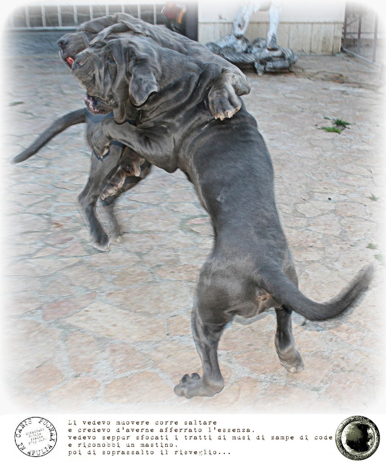 Molossus Puppies: Molossus Canis Pugnax Breed