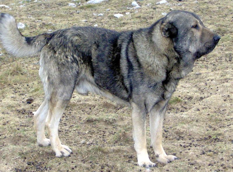 Molossus of Epirus Dog: Molossus Cfcebbcebcfcebfcfcebfcfceafcebcf Breed
