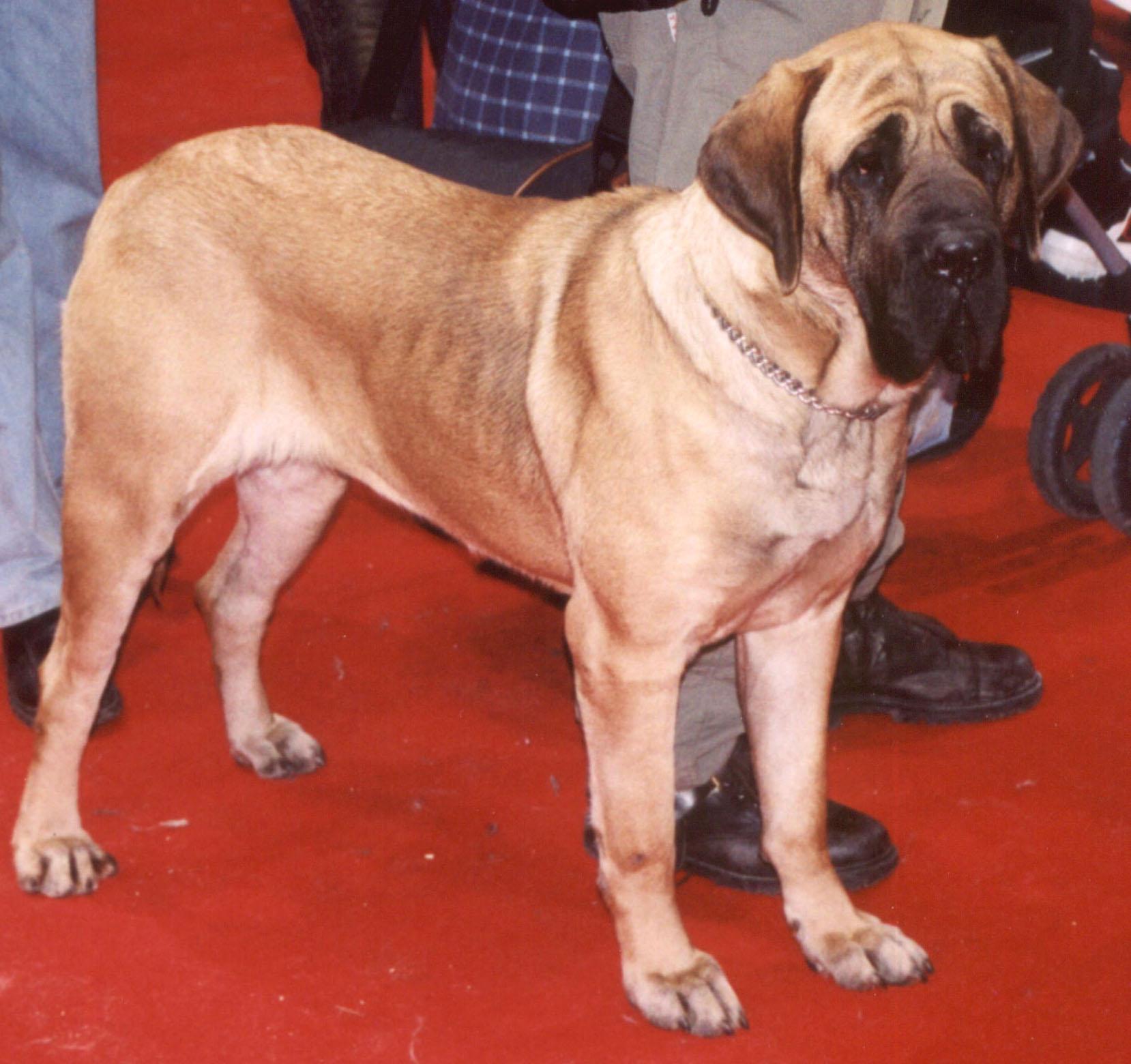 Molossus of Epirus Puppies: Molossus Dic Breed