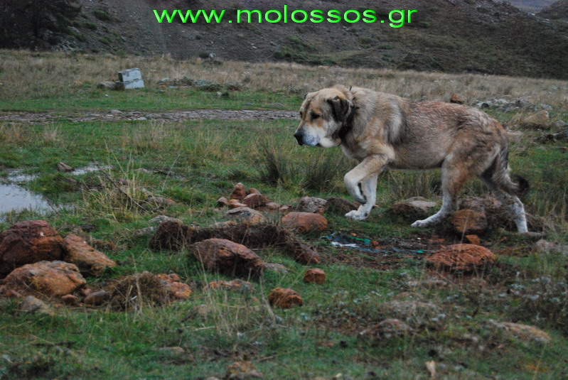 Molossus of Epirus Dog: Molossus Display Breed