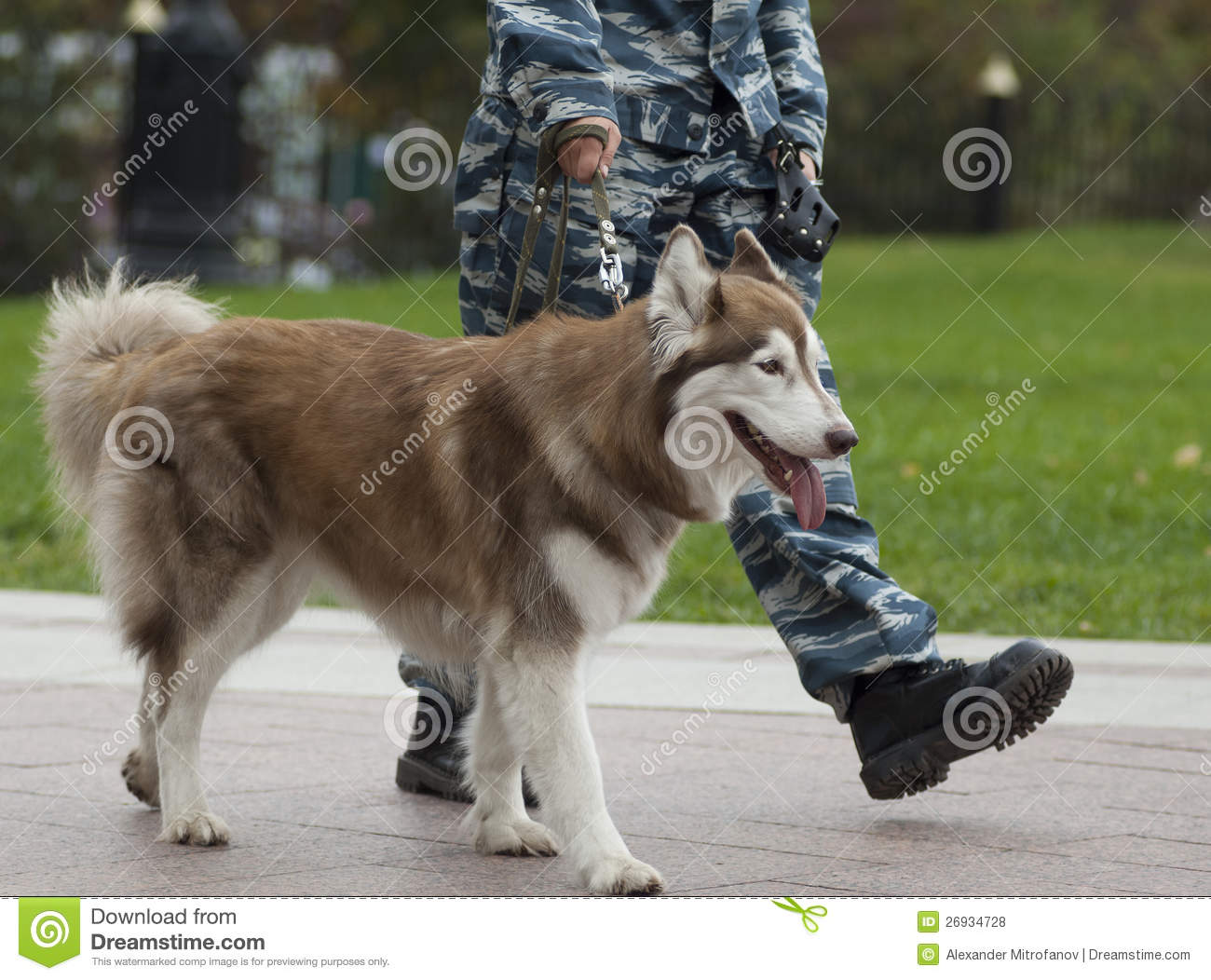 Molossus of Epirus Dog: Molossus Dog Breeds Man And Dog Are Training Obedience Royalty Free Cliparts