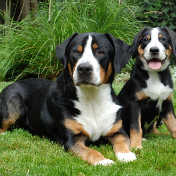 Molossus Puppies: Molossus Greater Swiss Mountain Dogs Breed