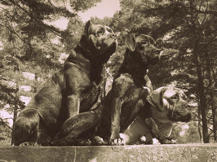 Molossus Dog: Molossus Molossus Breed