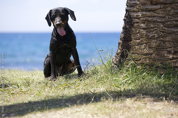 Montenegrin Mountain Hound Dog: Montenegrin Argentine Dogo Swimming With A Stick Breed