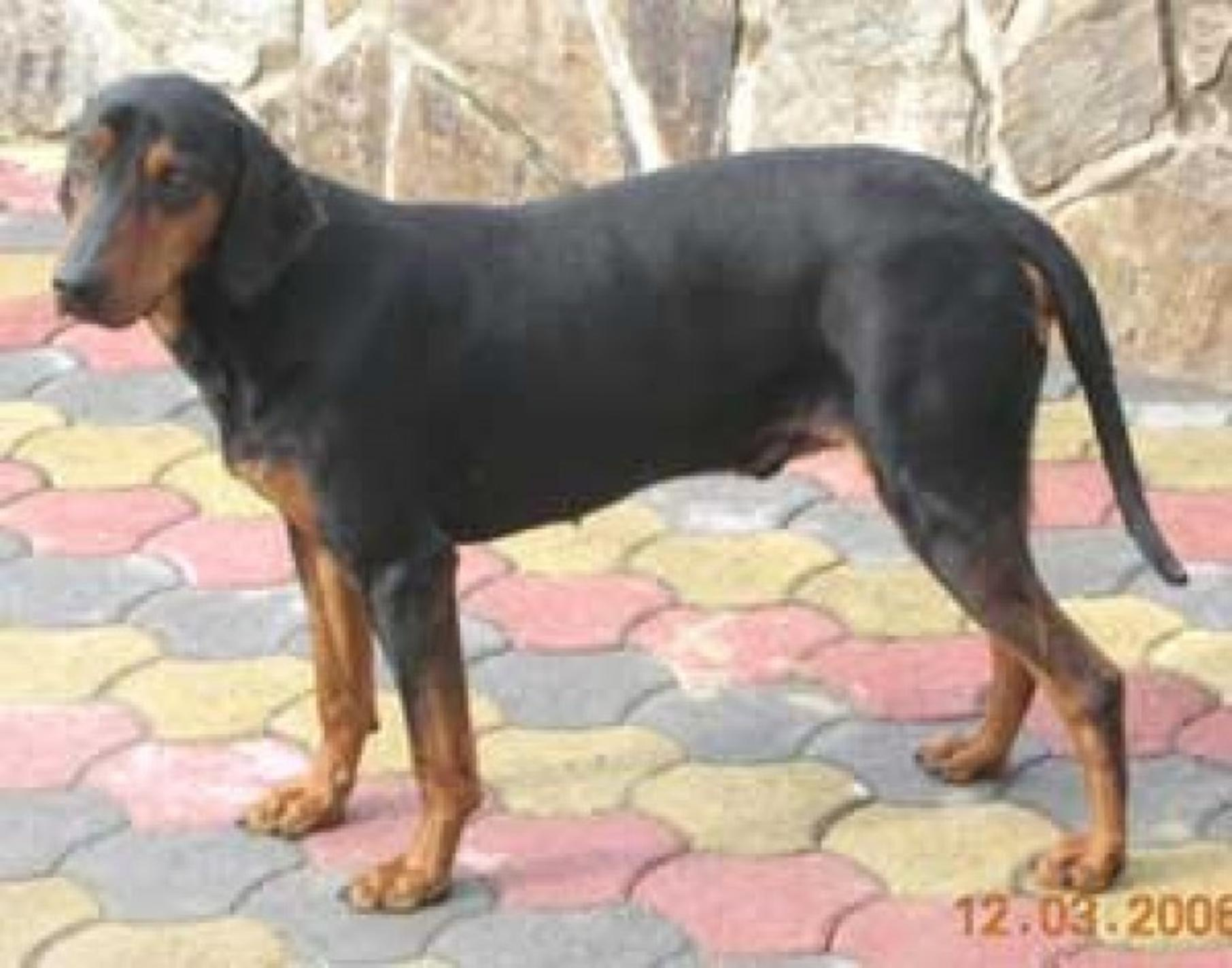 Montenegrin Mountain Hound Dog: Montenegrin Montenegrin Mountain Hound Dog Breed