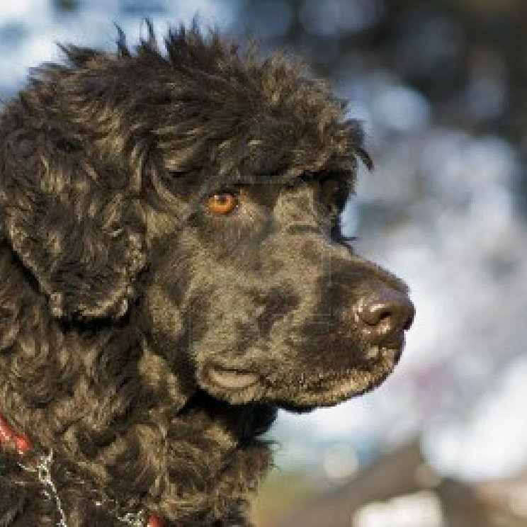 Moscow Water Puppies: Moscow Brownportuguesewaterdog Breed