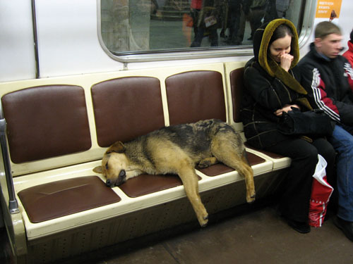 Moscow Water Dog: Moscow Moscow Metro Dogs Breed