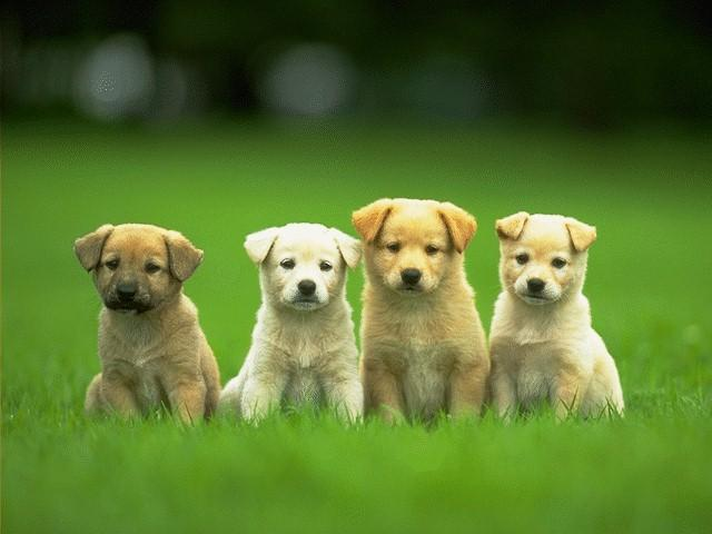 Moscow Water Puppies: Moscow Puppiesforsale Breed