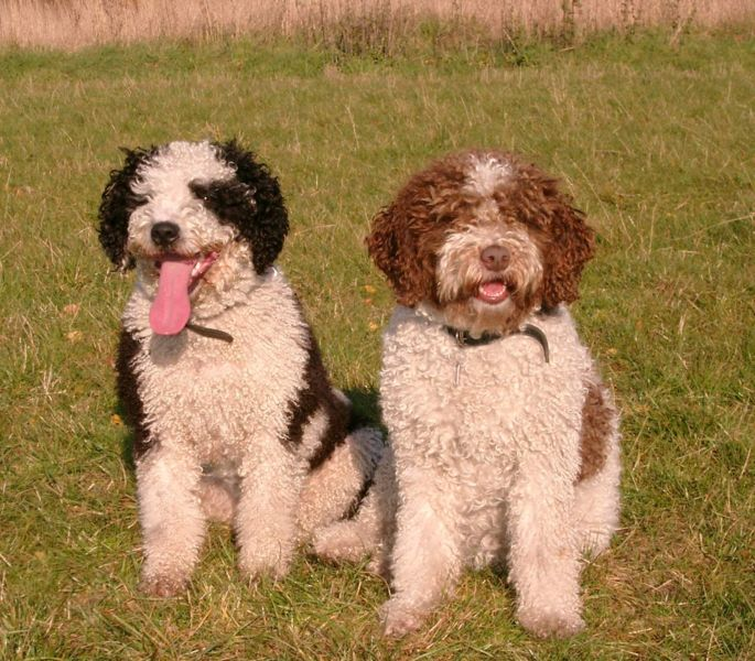 Moscow Water Puppies: Moscow Spanishwaterdog Breed