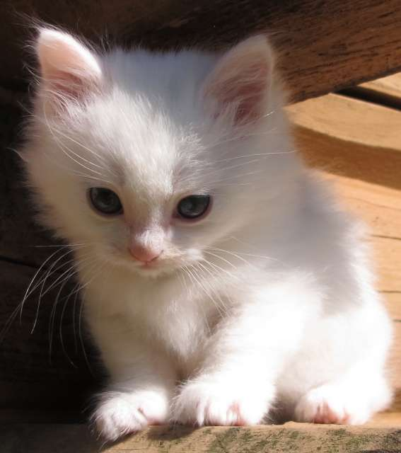 Munchkin Kitten: Most Adorable White Munchkin Cat S And Pictures Breed