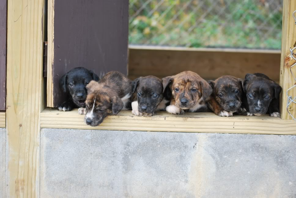 Mountain Cur Puppies: Mountain Mountain Cur Breed