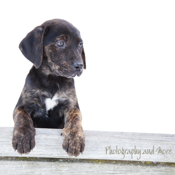 Mountain Cur Puppies: Mountain Mountain Cur Puppy Laina Ct Pet Grapher Breed