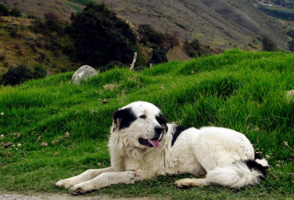 Mucuchies Dog: Mucuchies Dec Mucuchies Dog Rests Farm Breed