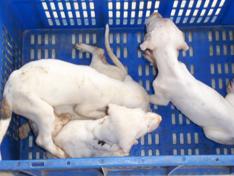Mudhol Hound Puppies: Mudhol Chreeni Mudholhoundmudhol Hound Breed