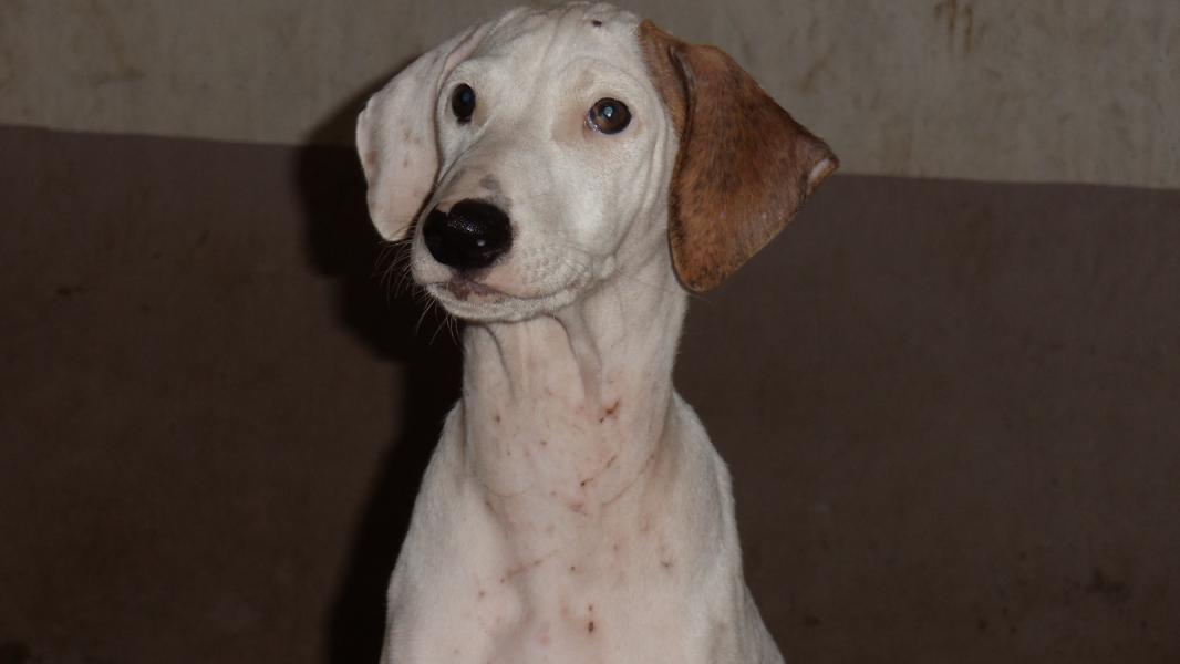 Mudhol Hound Puppies: Mudhol Guruprasad Mudhol Hound Breed