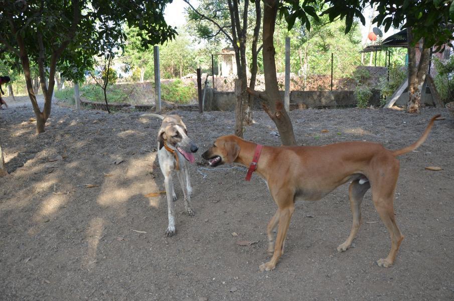 Mudhol Hound Puppies: Mudhol Hirajidhanwatay Mudhol Hound Breed
