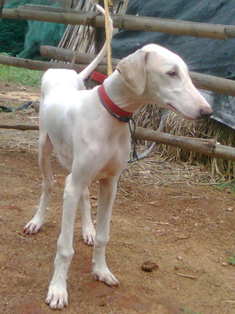 Mudhol Hound Dog: Mudhol Mudhol Hound Dog In A Red Collar Breed