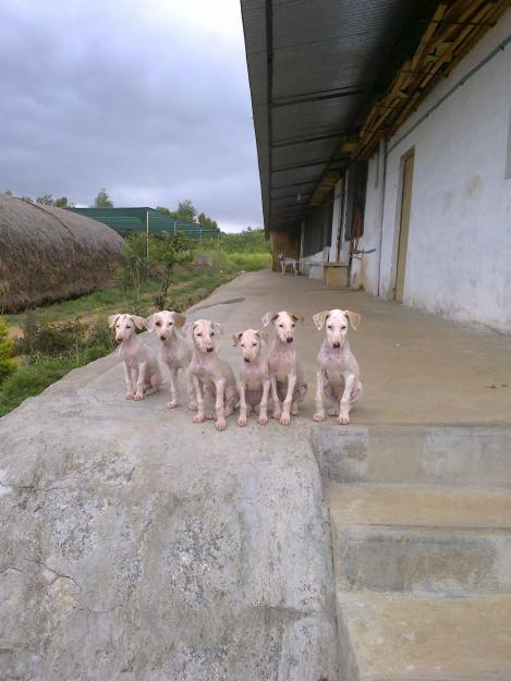 Mudhol Hound Puppies: Mudhol Mudhol Hound Puppies For Sale Interested Persons Can Hound There Are About Months Ad Breed