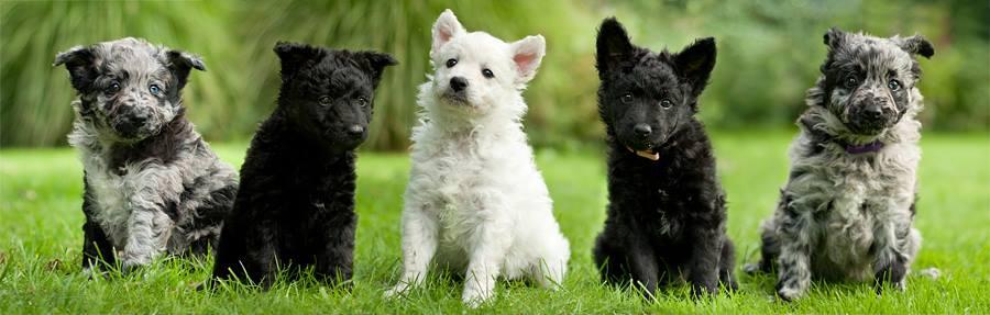 Mudi Puppies: Mudi Actualprevious Litters Breed
