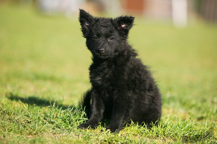 Mudi Puppies: Mudi Breed