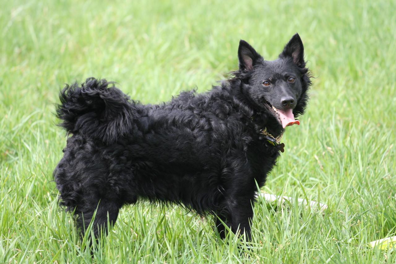 Mudi Dog: Mudi Img Breed