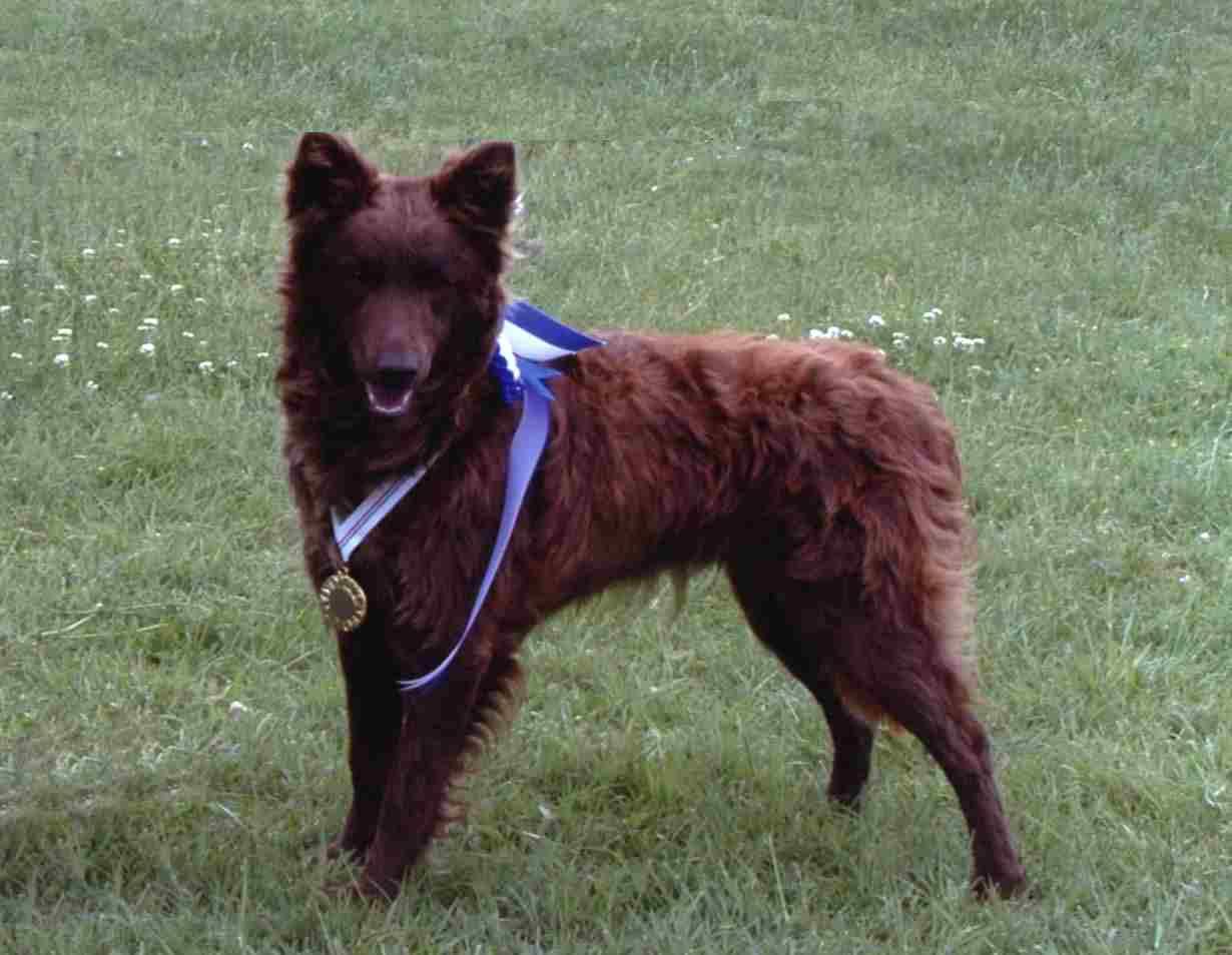 Mudi Dog: Mudi Mudi Dog Champion Breed