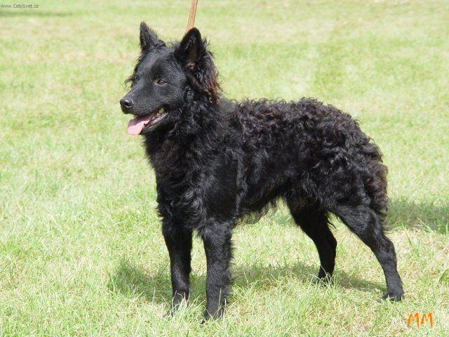 Mudi Dog: Mudi Mudi Dog Standard Breed
