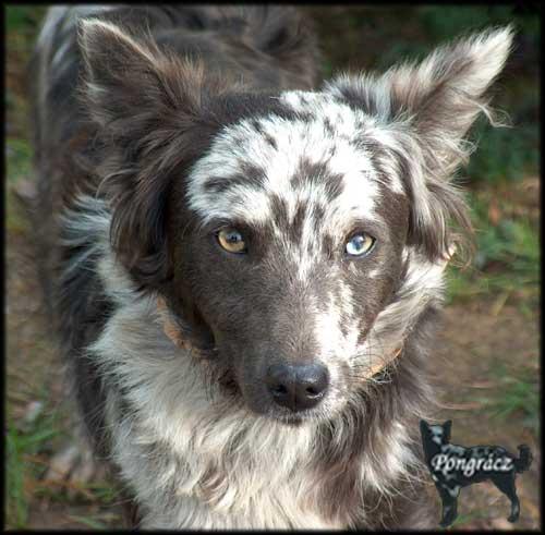 Mudi Puppies: Mudi Mudi Kopek Resimleri Breed