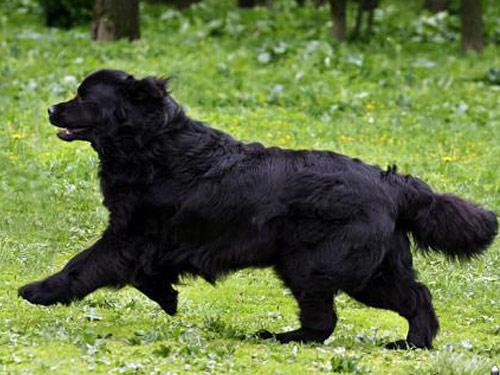 Mudi Dog: Mudi Pictures Breed