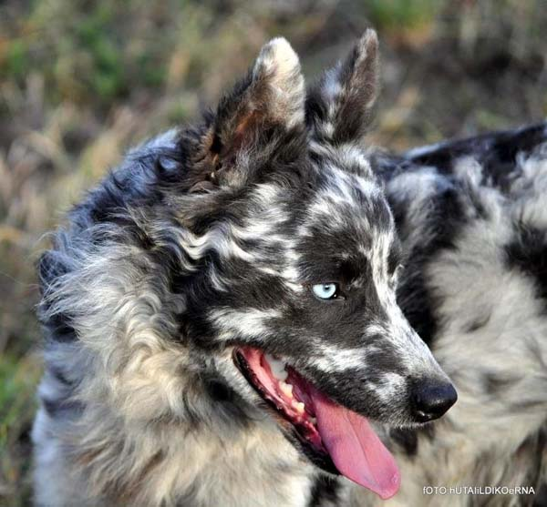 Mudi Dog: Mudi Unusual Looking Dogs Breed