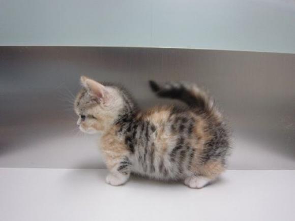 Munchkin Kitten: Munchkin Adorable Munchkin Cat Breeds