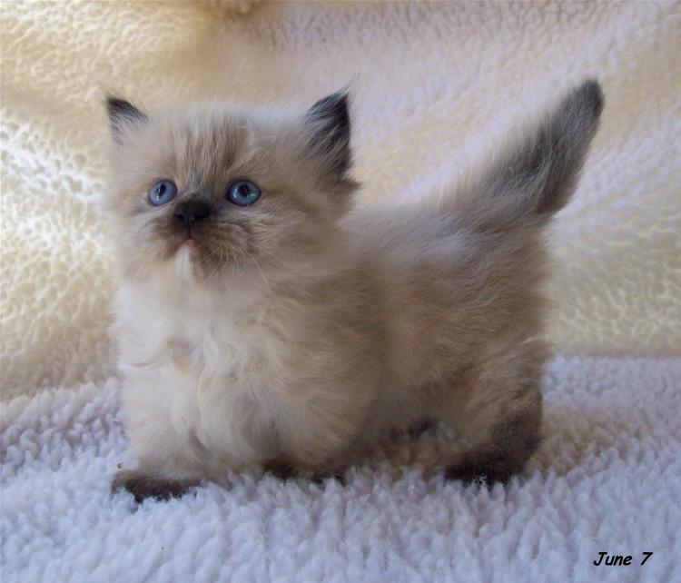 Munchkin Kitten: Munchkin Adorable Munchkin Kittens Breed