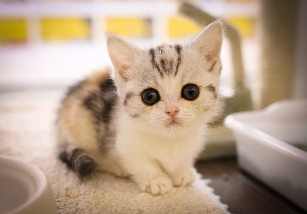 Munchkin Kitten: Munchkin Breed