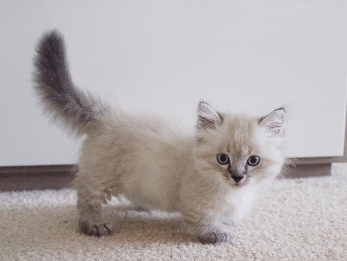 Munchkin Kitten: Munchkin Bxvuyhrawgaldgvucw Breed