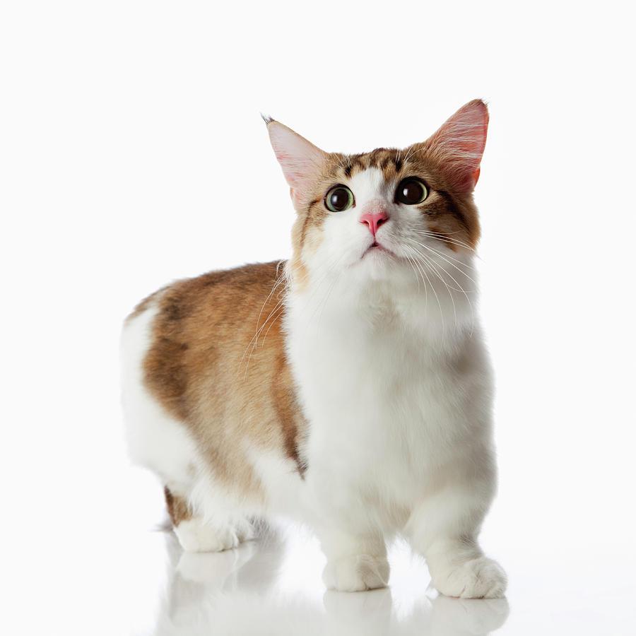 Munchkin Cat: Munchkin Designercatnetwork Breed