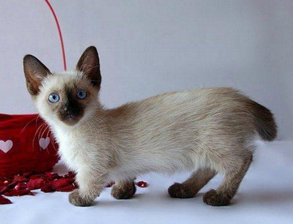 Munchkin Kitten: Munchkin Furrytalk Breed