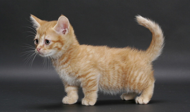 Munchkin Cat: Munchkin Munchkin Breed